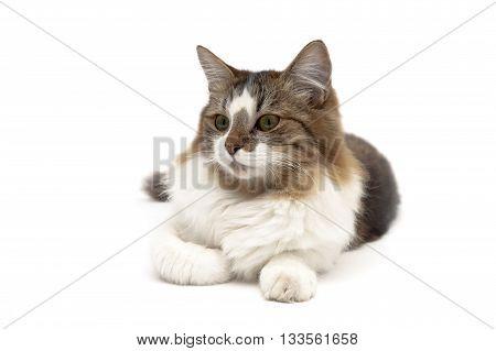 fluffy cat lying on a white background. Horizontal photo.