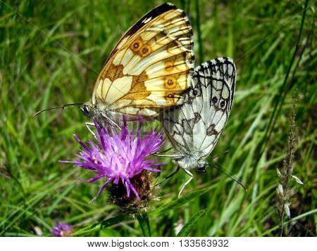 Close up of a pair of Marbled White (Melanargia galathea) Butterflies mating. The male has the black and white underwings and the female yellow and brown underwings