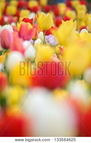 Yellow tulips. Colorful tulips in spring season