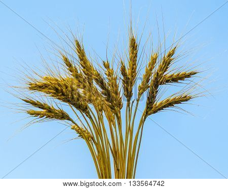 ears of wheat. ears of wheat on a blue background
