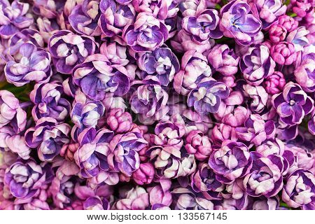 Beautiful floral background with flowers of lilac. Spring background with lilac.
