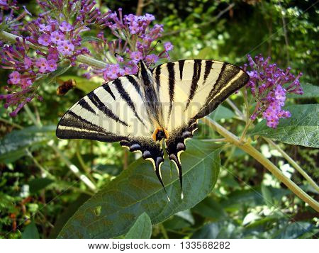 Scarce Swallowtail (Iphiclides podalirius) on a Butterfly Bush (Buddleia)