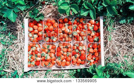 Red strawberries in a wooden basket costs between the strawberry beds in the field