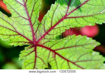 Closeup texture green and red on leaf of Jamaica Sorrel or Hibiscus Sabdariffa