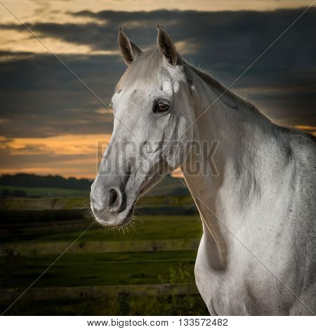 Portrait of beautiful well groomed grey mare at sunset.