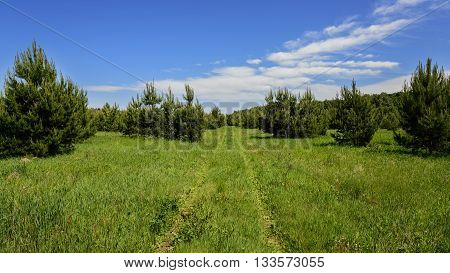 Footpath In A Field Overgrown With Young Pine Trees.