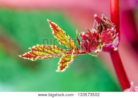 Closeup texture green red on soft leaf and young fruit of Jamaica Sorrel or Hibiscus Sabdariffa in Thailand
