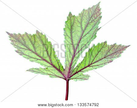 Isolated leaf texture red and green of Jamaica Sorrel or Hibiscus Sabdariffa on white background