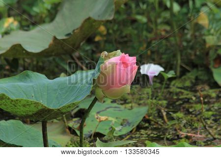 lotus blossom or water lily flower blooming on pond background Nymphaeaceae