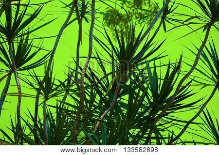 Yucca Plants with a green background creating an abstract pattern