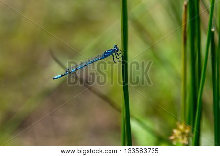 Dragon Fly, Common Blue Damselfly