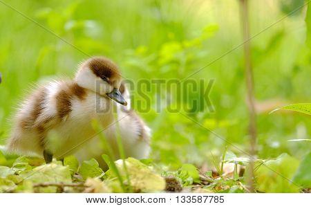 Little beautiful ducklings walking on the grass