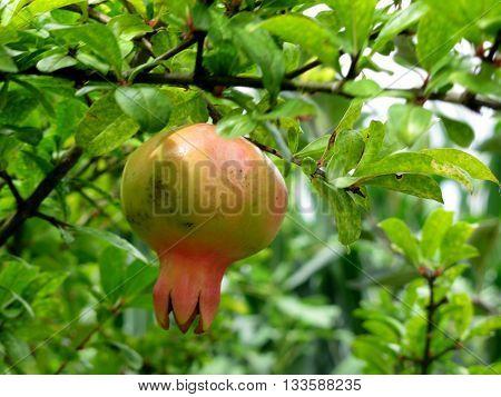 Single pomegranate hanging on tree . Tuscany, Italy