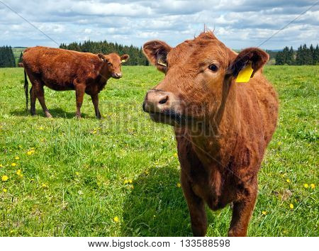 A closeup of the head of a cow (cattle)
