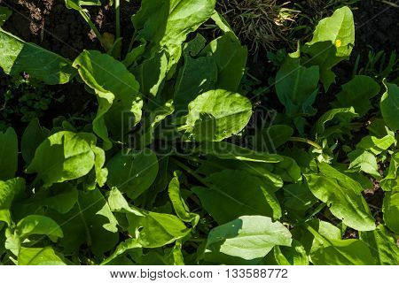 Sorrel plants in the garden growing up