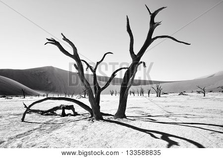 Dead Camelthorn Trees against clear sky in Deadvlei Sossusvlei. Namib-Naukluft National Park Namibia Africa. Black and white