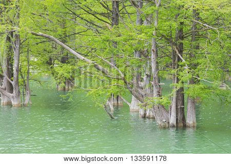 Overgrown Swamp Cypress On The Lake