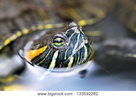 Red Ear Slider turtle peeking out of the water