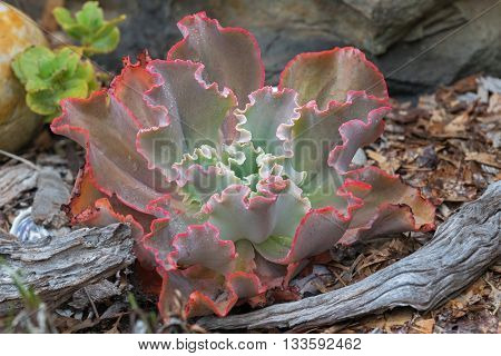 Closeup of Ruffled Echeveria, curvaceous succulents plant in green with rough curly red edge and raindrops, grown in Australia