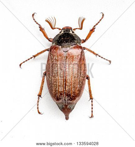 The insect bug chafer.