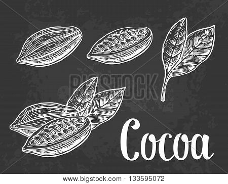 Leaves and fruits of cocoa beans. Vector vintage engraved illustration. On dark background.
