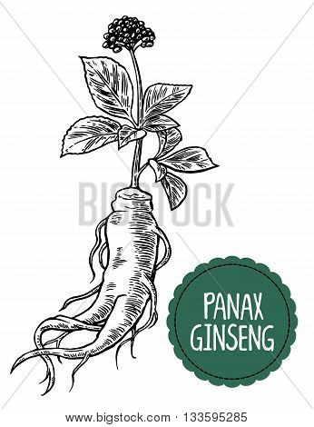 Root and leaves panax ginseng. Vector black and white engraving vintage illustration of medicinal plants. Biological additives are. Healthy lifestyle. For traditional medicine gardening.