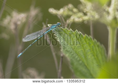 Azure Bluet (Coenagrion puella) male resting on a leaf in a Dune Landscape