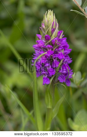 Southern Marsh-orchid (Dactylorhiza praetermissa) flowering in a Dune Valley