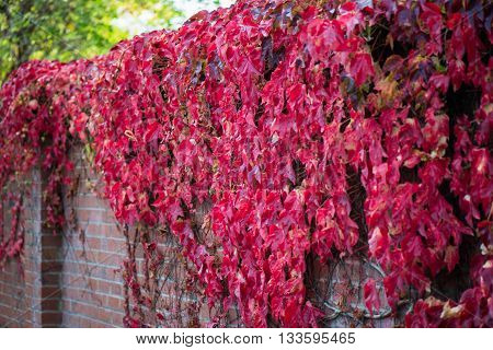 Ivy With Red And Green Leaves On The Brick Wall