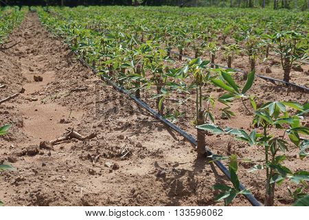 cassava plantation with drip irrigation for saving water