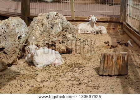 Goat Sitting In Natural Park