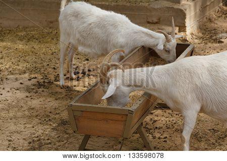 Goats Cropping Grass