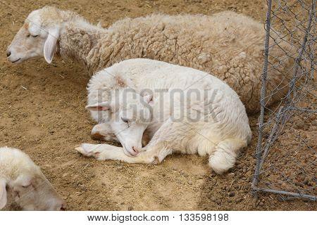 Sheep In Natural Park