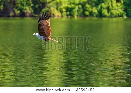 Brahminy kite flying and catching prey on water Thailand.