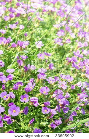 Vertical Floral Background With Small Violet Aubrieta Flowers