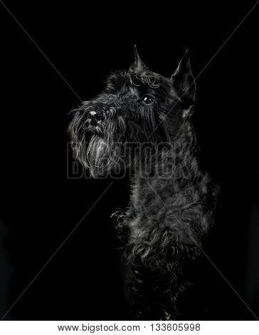 The black miniature schnauzer portrait on black