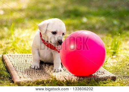 Labrador puppy with a ball. Beautiful dog puppy Labrador Retriever playing with rubber ball on grass