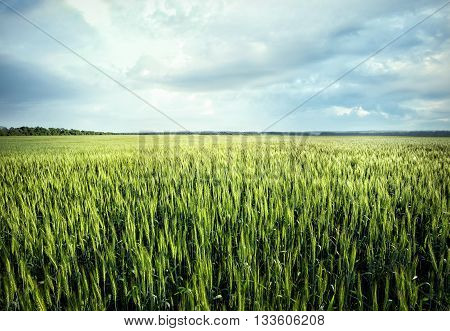 Field with green ears of wheat under cloudy sky