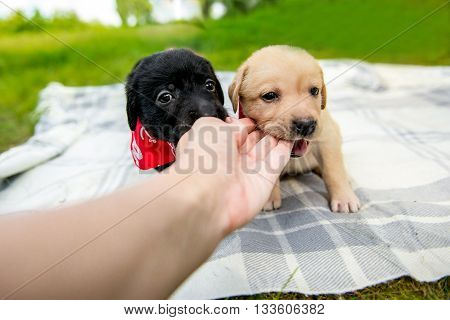 labrador puppy bites a human finge. A puppy dog nibbles on the hand of it's owner