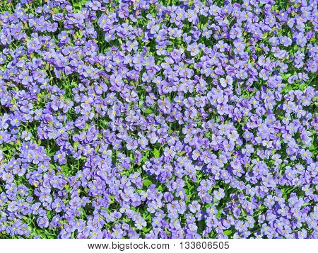 Aubrieta Tiny Blue Summer Flowers Background