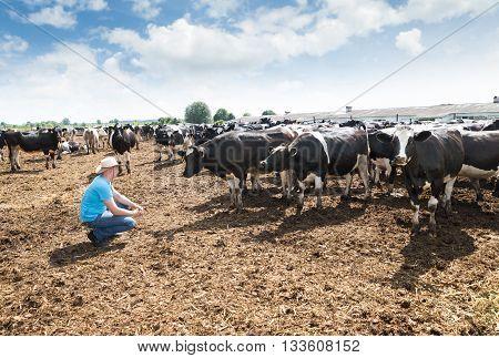 Farmer in his dairy cows farm.Cowboy and Cows.