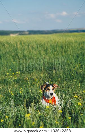 small dog breeds Jack Russell Terrier in a red scarf sitting in the grass on a summer day