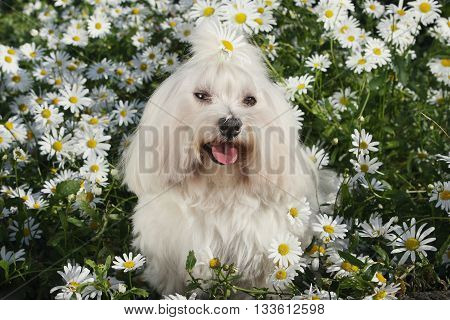 White dog in the garden - Bichon Maltese Maltese Dog Breed