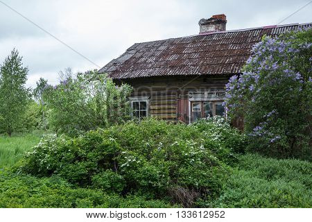 Old wooden house and blossoming lilac in the garden