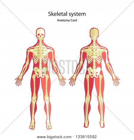 The human skeletal system. Anatomy guide of human skeleton, male. Anatomy didactic board of human bony system. Front and rear view. Vector Illustration.