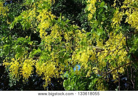 The beautiful yellow flowers of the Senna Tree (Senna surattenensis)