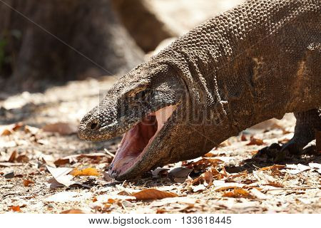 Water and mucus comes out of the mouth. Komodo dragon is on the ground. Interesting perspective.