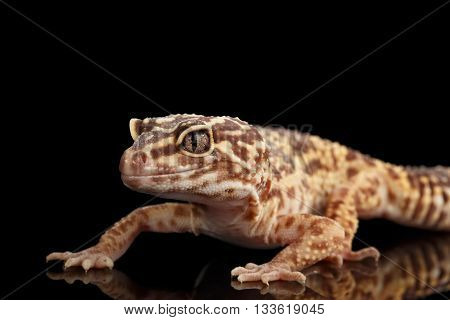Closeup Leopard Gecko Eublepharis macularius Isolated on Black Background, front view