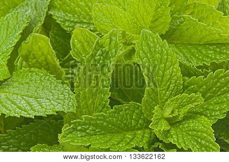 Background texture of several fresh mint leaves.