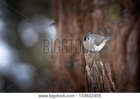 Tufted tit mouse perched on cedar log